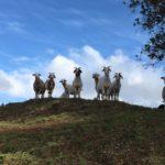 Graskløppara  på  oppdrag  i  Santa  Rosa