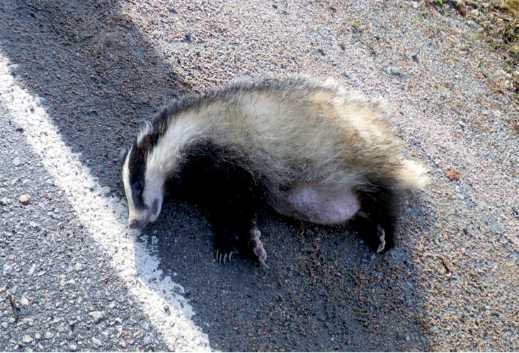 Død grevling på vegkanten ved Drivhammaren.  Foto: JonB.