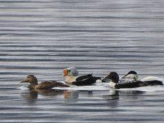 Sjelden gjest på Nordvik. Ett par med praktærfugl.