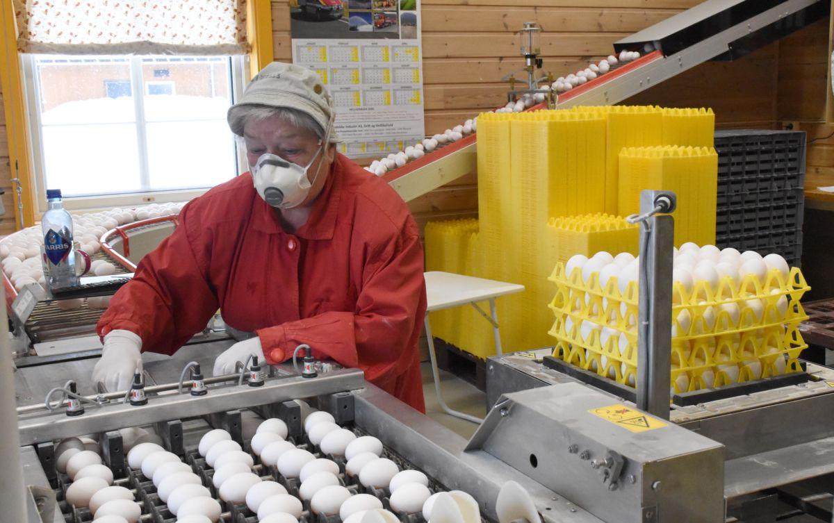 7500 egg blir pakka kvar dag i Pestua - no går egga unna etter kvart.  Foto: Jon Olav Ørsal