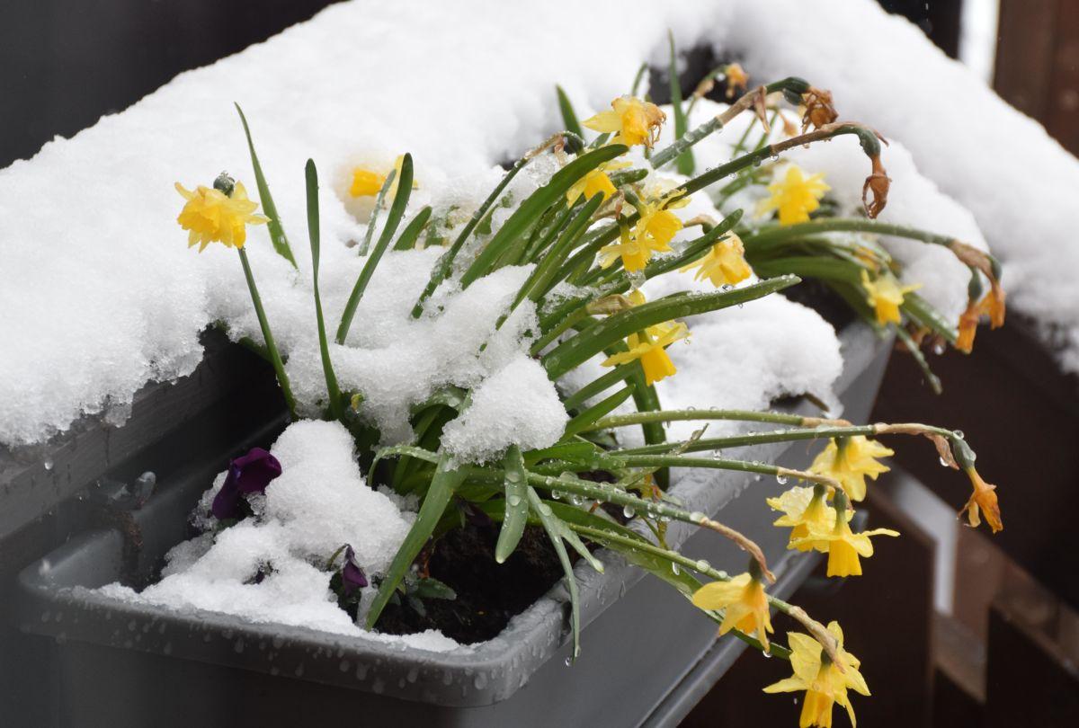 Tøft å være blomster i snøbygene, men påskeliljene tåler det.  Foto Jon Olav Ørsal