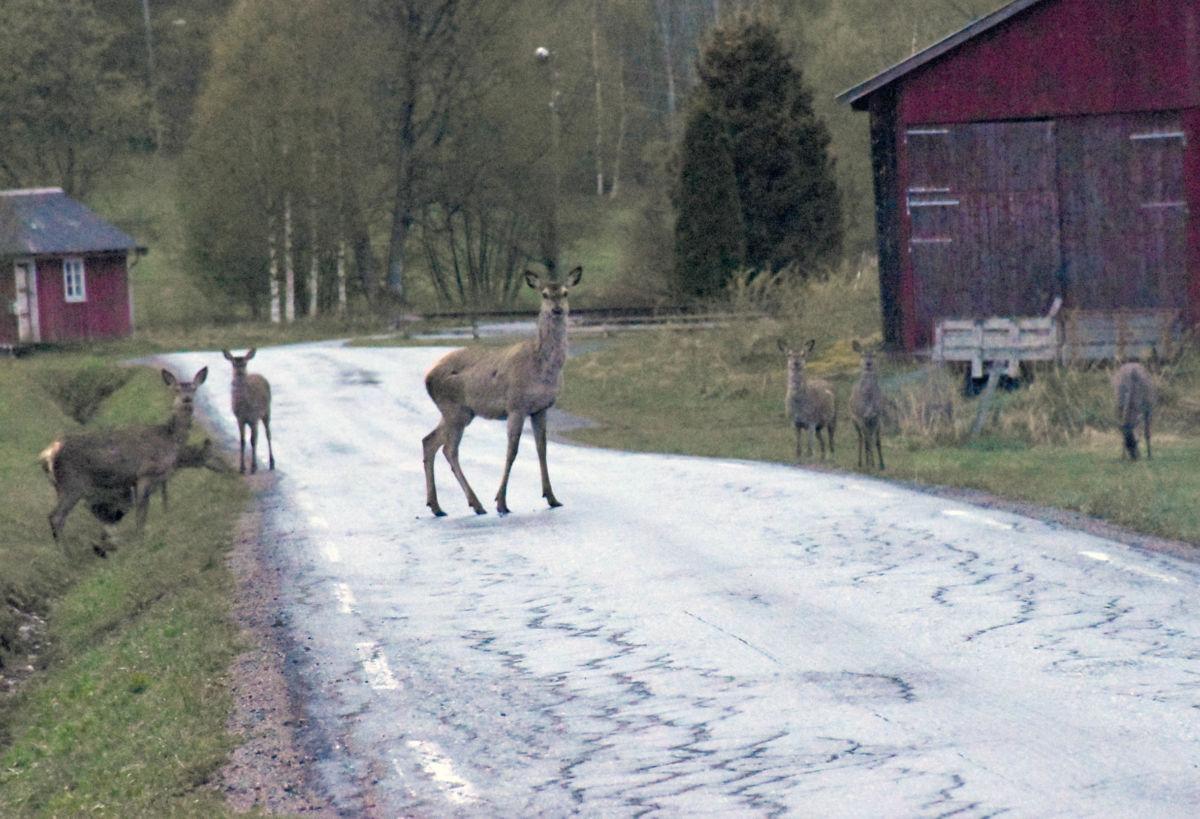 Det er mykje hjort ved vegen på Ørsalhøgda - det er lurt å være litt forsiktig.  Foto: Jon Olav Ørsal