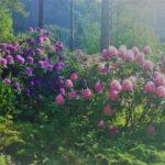Blomstringstid
