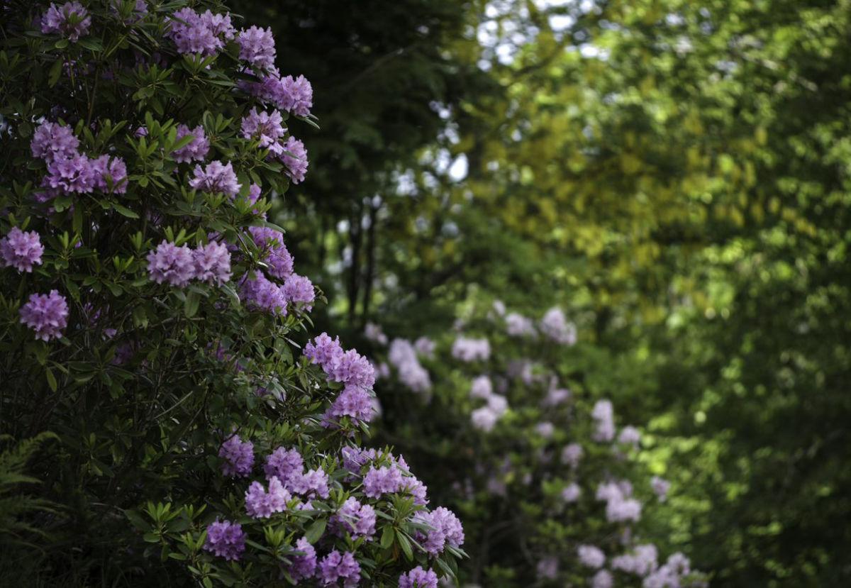 No er det full blomstring i arboretet!  Foto: Lediard