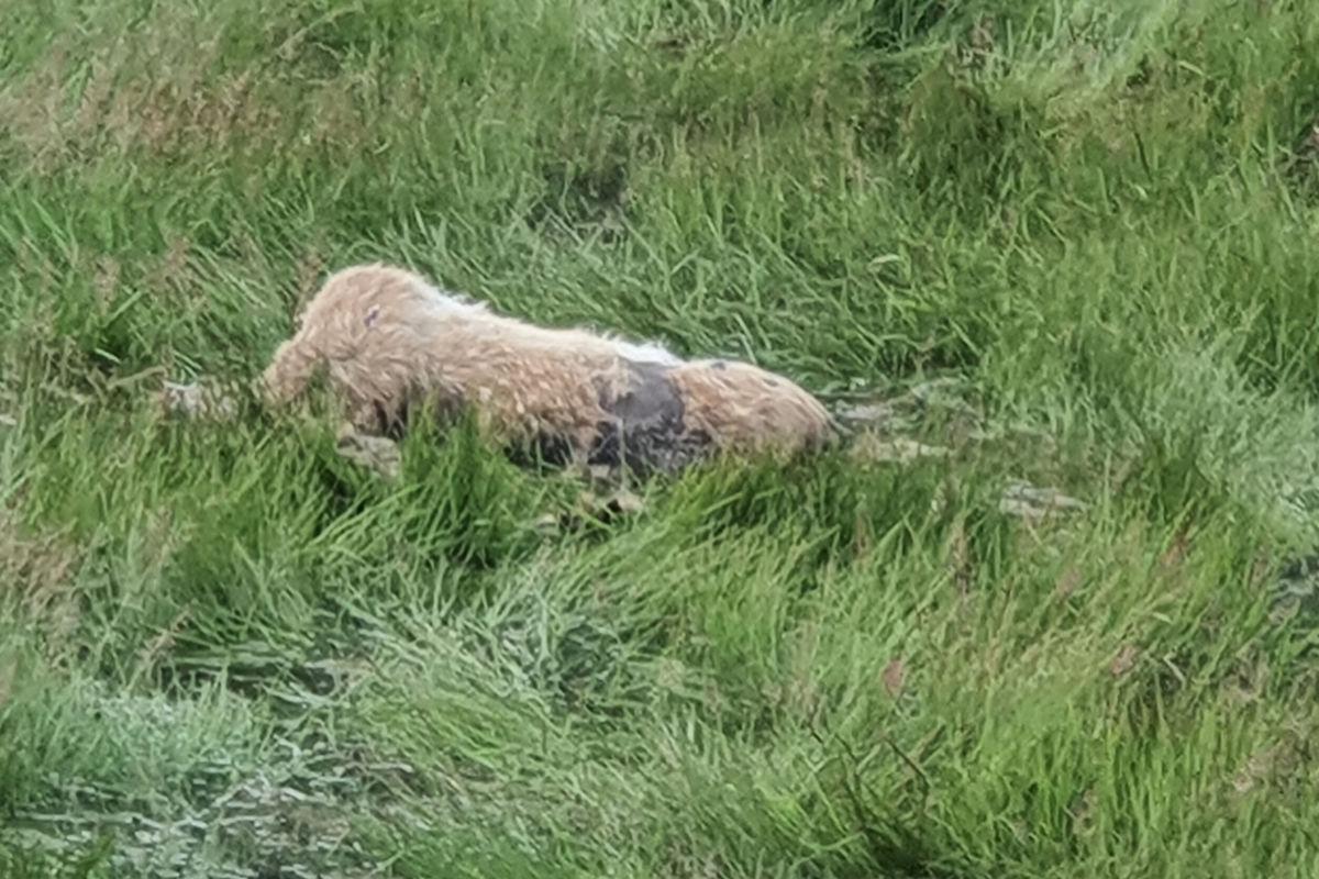 Hjortekadaver i fjøra - rett utafor Bergheim på Todlasøra er det observert eit hjortekadaver.  Foto: Bjørn Gunna Ansnes