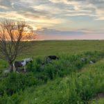 Hester  i  solnedgang  på  Farstad