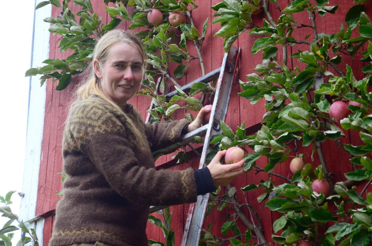 Innhausting av Åkerø epler - epler frå veggtre er prima vare, seier Brit.  Foto: Jon Olav Ørsal