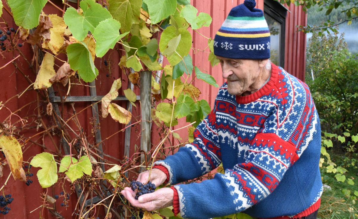 Søte og gode druer.  Johan viser fram druene som i år har vorte mogne på vinranken han planta for 30 år ssia.  Foto: Jon Olav Ørsal