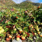 Utom  Lauvåsen  vekst  det  jordbær…  i  midten  av  oktober