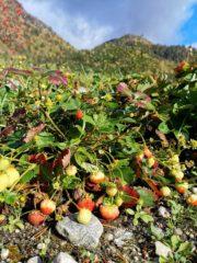 Utom Lauvåsen vekst det jordbær... i midten av oktober