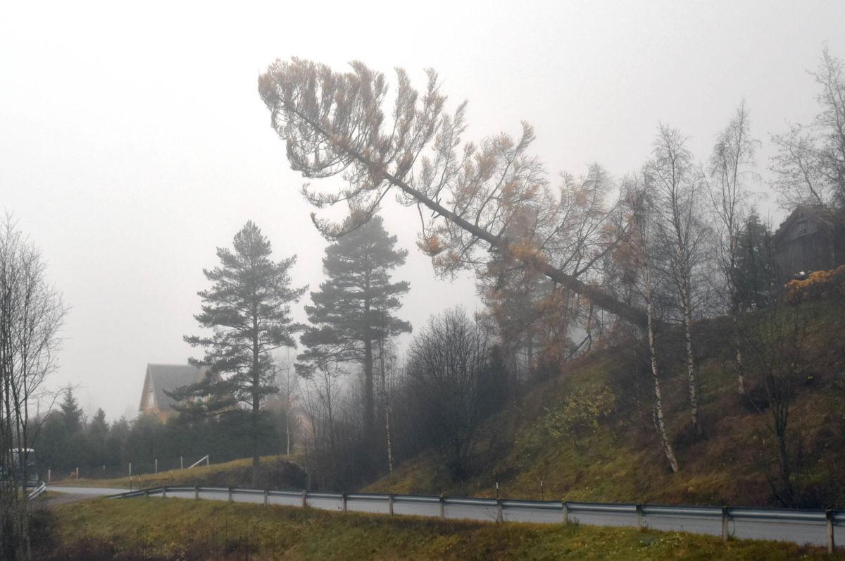 Her går lerketreet i bakkan.  Treet rakk heilt over vegen i Husbyevja.  Foto: Jon Olav Ørsal
