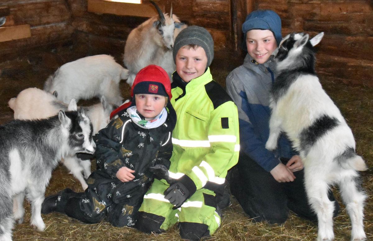 Full aktivitet i fjøset for brørne Tormund, Lars Ailo og Nils Erik.  Det var god kjemi mellom geitkjea og brørne!  Foto: Jon Olav Ørsal