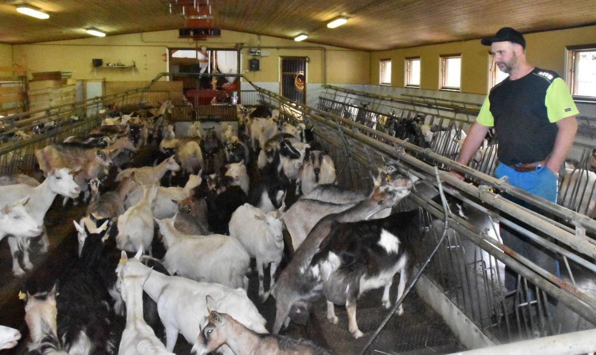 120 av dei 400 dyrene er mjølkegeit som må mjølkast 2 gong kvar dag. Her er dei komne inn i fjøset for mjølking.  Foto: Jon Olav Ørsal